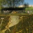 La Riserva Naturale e Oasi Lipu di Inarzo organizza, in occasione della Giornata Mondiale della Biodiversità, diverse iniziative: Rane, serpenti & friends – ore 9.30. Una visita guidata tra la piccola fauna che vive a […]