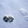 La splendida nevicata che ha ricoperto tutta la val Parma e i monti attorno al Rifugio ci consentirà di ciaspolare alla ricerca delle tracce del lupo nei dintorni del Rifugio, nei luoghi che abitualmente frequenta, […]