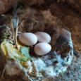 Inoccasione del XX Convegno Italiano di Ornitologia, che si è tenuto a Napoli dal 26 al 29 settembre 2019, la delegazione Lipu Gallarate ha presentato alla comunità scientifica i primi risultati del monitoraggio della colonia […]